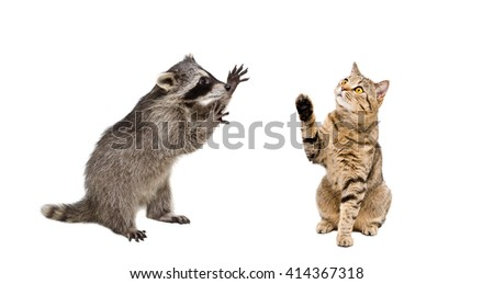 Playful raccoon and  cat Scottish Straight isolated on white background - stock photo
