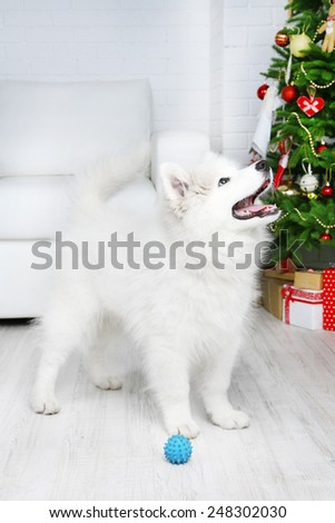 Playful Samoyed dog with ball in room with Christmas tree on background - stock photo