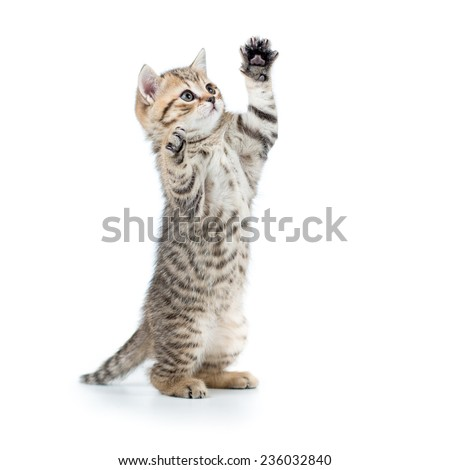 playful scottish cat kitten looking up. isolated on white background - stock photo