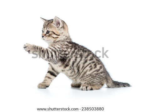 playful scottish kitten cat isolated on white