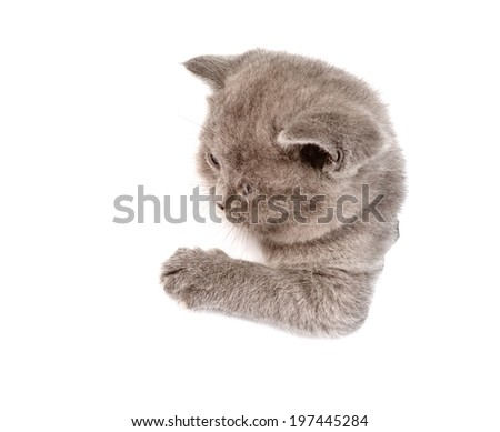playful scottish kitten in paper side torn hole. isolated on white background