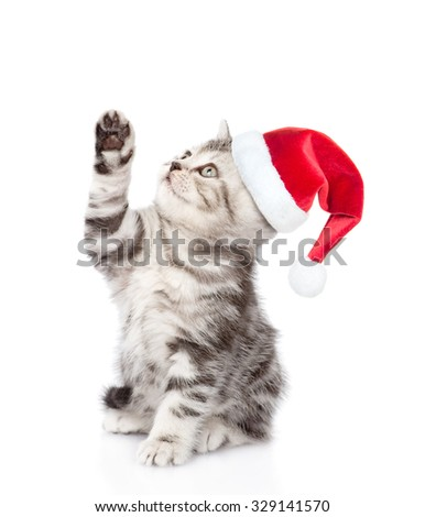 playful scottish kitten in red santa hat looking up. isolated on white background - stock photo