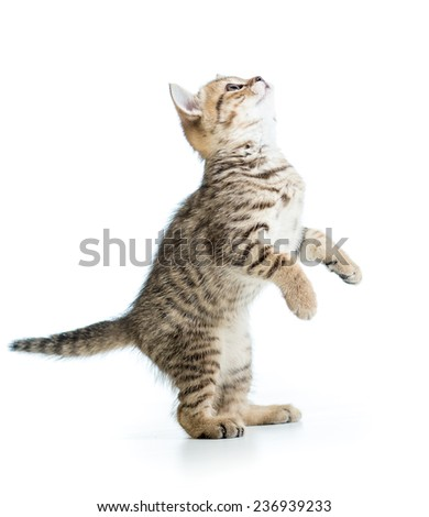 playful scottish kitten looking up isolated on white background