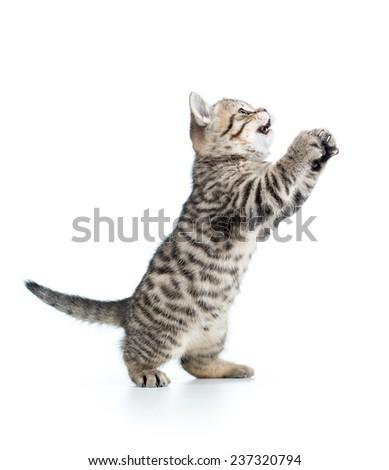 playful scottish kitten looking up. isolated on white background - stock photo