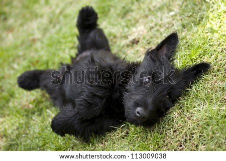 Playful scottish terrier puppy lying on its back - stock photo