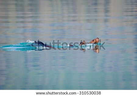 Playful seals swimming in Glacier Bay - stock photo
