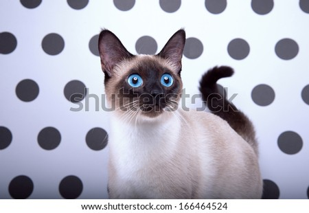 Playful Siamese cat - stock photo