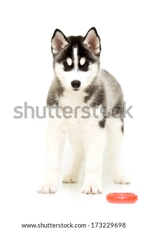 Playful Siberian Husky puppy