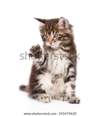 playful small maine coon cat.  isolated on white background