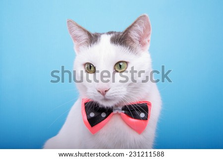 Playful stylish purebred cat. Animal portrait. Purebred cat with bow-tie is lying. Blue background. Colorful decorations. Collection of funny animals - stock photo
