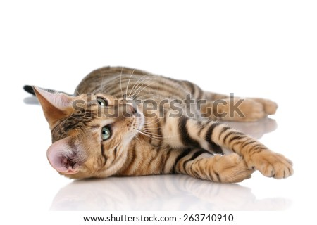 Playful tabby cat lying on its side on a white background - stock photo