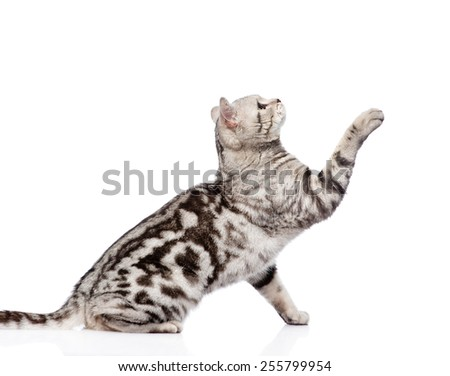 playful tabby cat sitting in profile. isolated on white background - stock photo