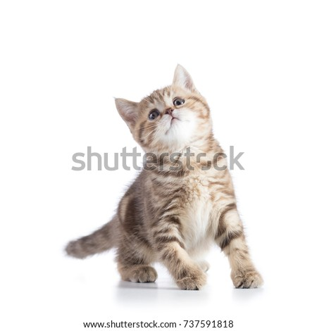 playful tabby kitten cat looking up isolated