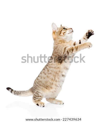 playful tabby kitten in profile looking up. isolated on white background - stock photo
