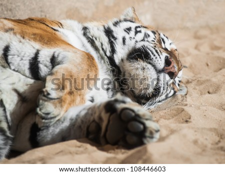 Playful tiger laying on the sand. Mammals and predators