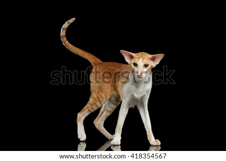 Playful White and Red Oriental Cat With Extremal Big Ears Standing and Looking in Camera, Black Isolated Background
