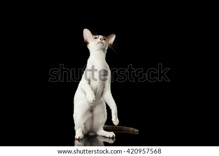 Playful White Oriental Cat Standing on rear legs and Raised up head, Black Isolated Background