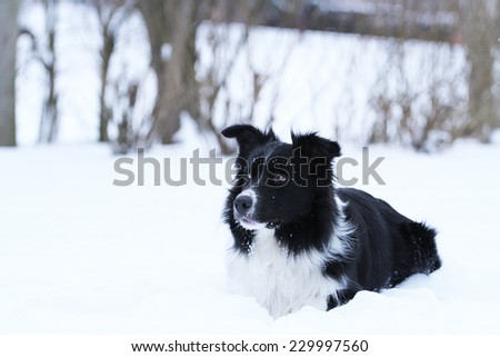 playfully border collie puppy dog in snow winter background - stock photo