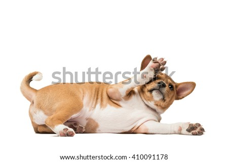 Playing basenji puppy laying on the white lifting its paw up
