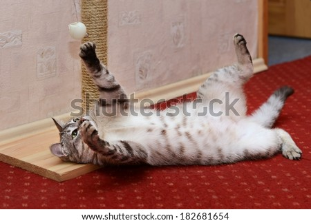 Playing cat on a violet pink domestic background, curious cat, domestic cat, little cat playing with ball in apartment, funny cat in a apartment, cat playing  - stock photo