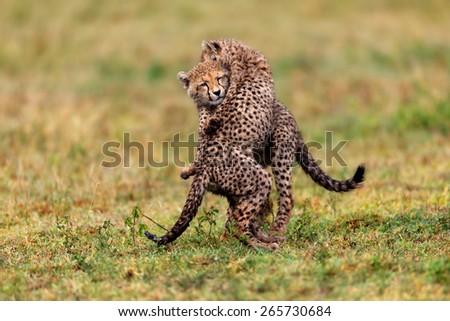 Playing Cheetah cubs in the Serengeti, Tanzania - stock photo