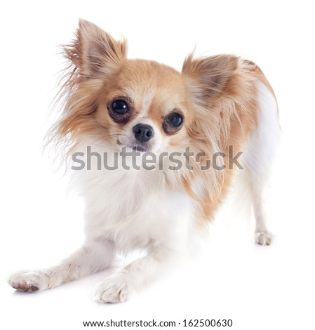 playing chihuahua in front of white background