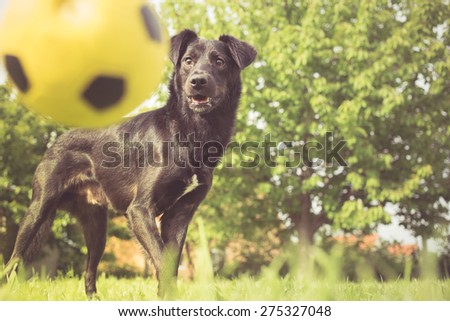 Playing fetch with mixed breed dog - stock photo