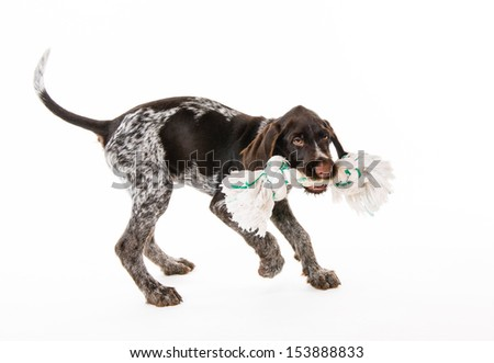Playing German wire-haired pointer puppy, 12 weeks old, white background