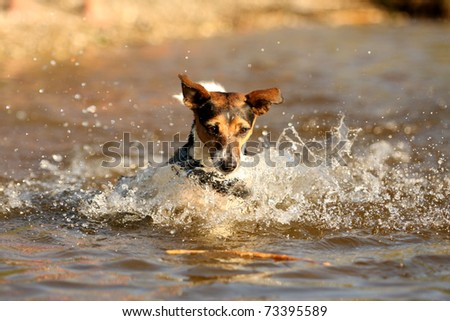 playing jack russell terrier in water - stock photo
