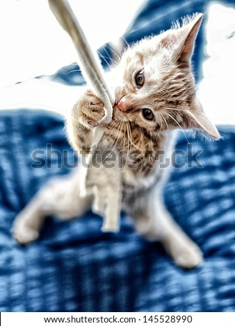 playing juvenile European Shorthair Cat - stock photo