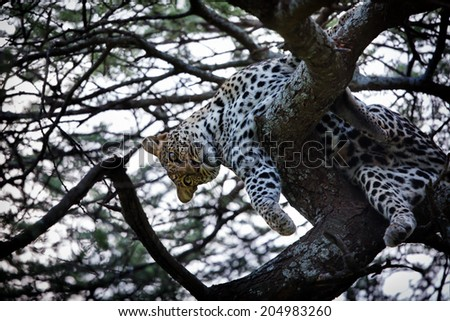 Playing Leopard female in the tree in the Serengeti National Park, Kenya - stock photo