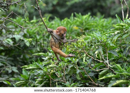 Playing macaque monkey in the jungle. Nepal - stock photo