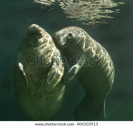 Manatee playing - Picture of Center Street Park, Cape ... |Manatees Playing