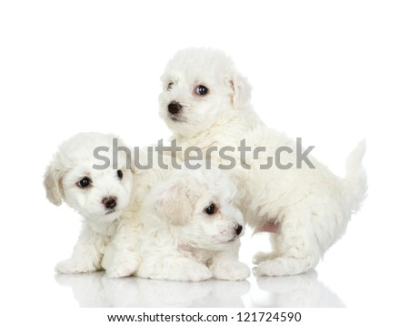 playing puppies of a lap dog. isolated on white background - stock photo