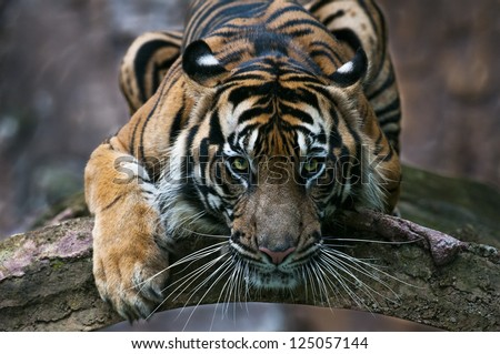 Playing Sumatran Tiger - stock photo