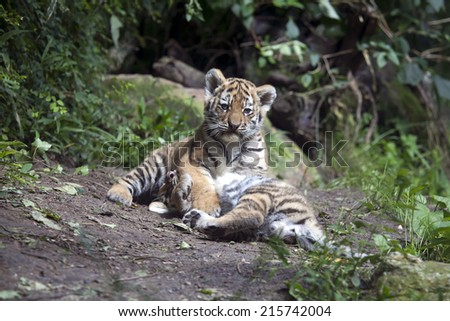 Playing tiger cubs - stock photo