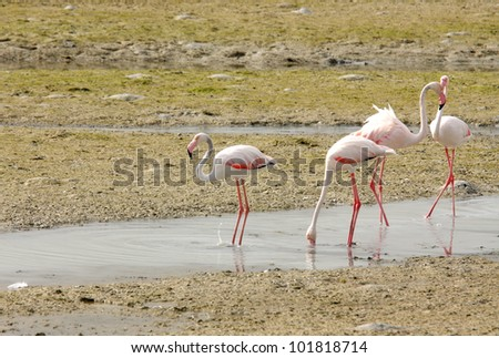 Plenty of food available for Flamingos during low tide - stock photo