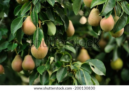 Plenty of pears growing on a pear tree - stock photo