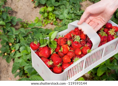 Plenty ripe strawberries picked to white plastic punnet. Man picking fresh red fruits to plastic punnet, holding in one hand. Horizontal orientation, photo taken in yard in open air, sunny day. - stock photo