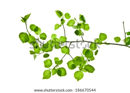 Pliant branch with green leaves isolated on white    - stock photo