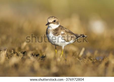 Plover  Little Ringed Plover / Charadrius dubius - stock photo