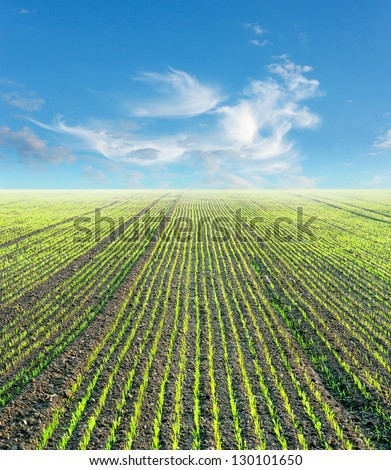Plowed field with small green plants and blue sky - stock photo
