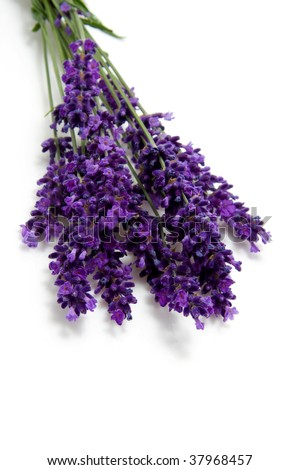 plucked lavender flowers isolated on white background