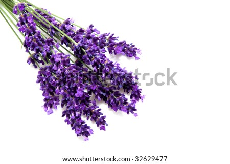 plucked lavender isolated on white background