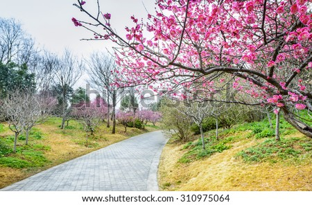 Plum Blossom in early spring. Located in Plum Blossom Hill, Purple Mountain of Nanjing City, Jiangsu Province, China. - stock photo