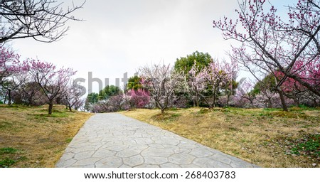 Plum Blossom in early spring. Located in Plum Blossom Hill, south of Ming Tomb, Purple Mountain of Nanjing City, Jiangsu Province, China.