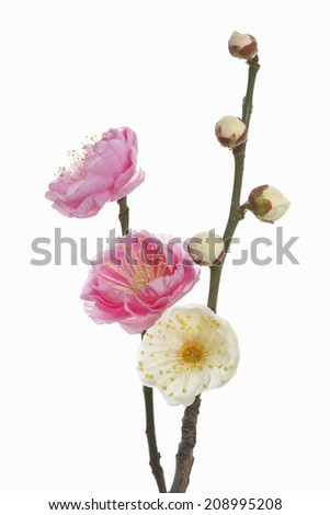 Plum Blossom Of Red And White - stock photo