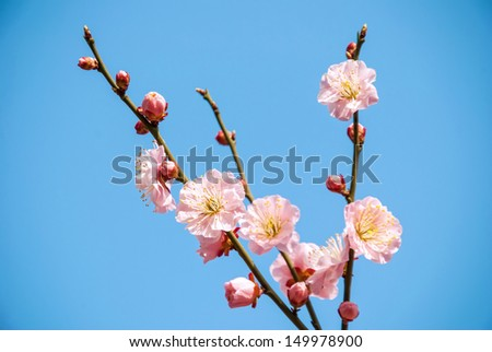Plum blossoms in early spring.
