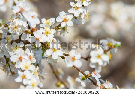 Plum branch with flowers on a sunny day. natural composition - stock photo