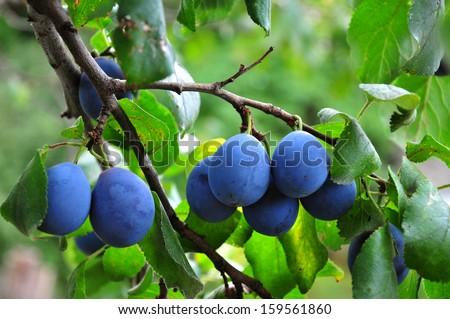 Plum. Branch with garden-stuffs - stock photo